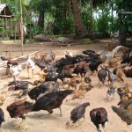 Her Chickens that have good health and wait to sell in Khmer New Year 2013