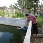 Mrs. Kamphat taking water from her fish tank to irrigate vegetables