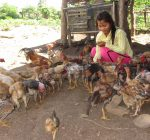 Miss. Duong Sokhei a Farmer Promoter in Kampong Rotes village feeding her chickens